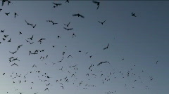 Flying Bats - stock footage