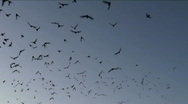 Stock Video Footage of Flying Bats