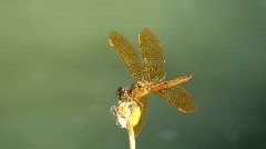 Dragonfly Pond Surfing Stock Footage