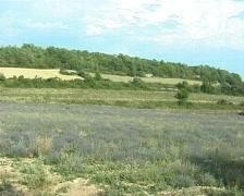 Lavender fields Stock Footage