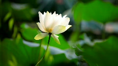 Lotus water lily - stock footage
