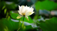Lotus water lily Stock Footage