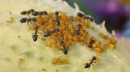 Stock Video Footage of Aphid farm tended to by black ants