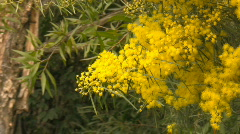 Wattle branch swaying in the wind - green background Stock Footage