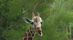 Giraffe eating from tree branches close up Stock Footage