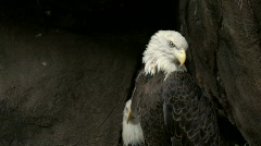 Bald eagles in rocky area Stock Footage
