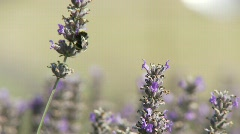 Closeup of bumble bee in lavender field Stock Footage
