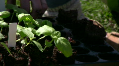 Small basil plug plants Stock Footage
