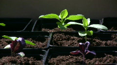 Green and purple  basil plants Stock Footage