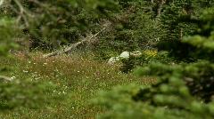 Mountain goats walk through trees Stock Footage