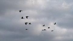 Cormorants in flight Stock Footage
