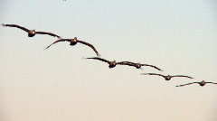 Pelicans in flight Stock Footage