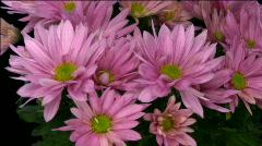Rotating chrysanthemum flower with alpha matte endless loop 12 Stock Footage