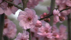 Blooming wild plum branch - close up Stock Footage