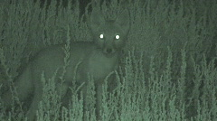 P00622 Swift Fox at Night with Infrared Stock Footage