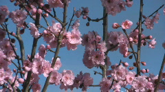 Wild plum flowers with blue sky in a backgound Stock Footage