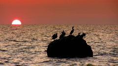 Cormorants in sunset Stock Footage