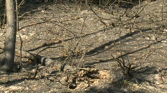 Natural disaster, scorched earth after forest fire Stock Footage
