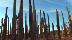 Saguaro Transplants Stock Footage