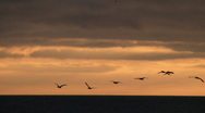 Pelicans in flight at sunset Stock Footage