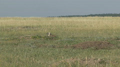 P00625 North American Badger in the Wild Stock Footage