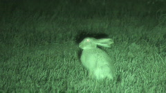 P00629 White-tailed Jackrabbit at Night Stock Footage