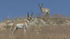 P00635 Pronghorn Antelope Bucks Stock Footage