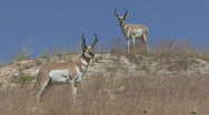 Stock Video Footage of P00635 Pronghorn Antelope Bucks