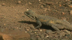P00638 Lizard at Twilight Stock Footage