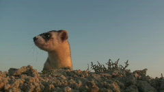 P00639 Black-footed Ferret - Extreme Closeup Stock Footage