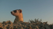 Stock Video Footage of P00639 Black-footed Ferret - Extreme Closeup