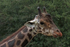 Giraffe  chewing food close up  Stock Footage
