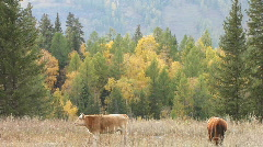 Autumn meadow with cows Stock Footage