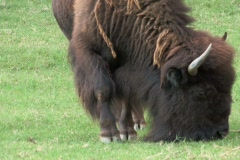 Bison Buffalo grazing in pasture on grass close up Stock Footage