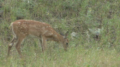 P00655 White-tailed Deer Fawn Feeding - stock footage