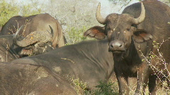 Stock Video Footage of Dominant Buffalo