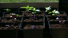 Small basil plants Stock Footage