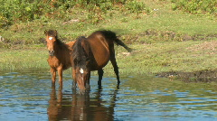 Wild horses in pond Stock Footage