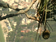 Tropical Plant Over Rio, Brazil Stock Footage