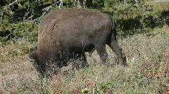 Bison buffalo walk lay down P HD 2435 Stock Footage