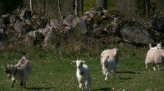 Goats and sheep run slowmotion Stock Footage