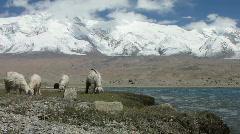 Sheep next to karakul lake   Stock Footage