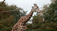 Giraffe walking Stock Footage