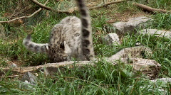 Snow leopard cubs Stock Footage