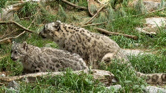 Snow leopard with cub Stock Footage