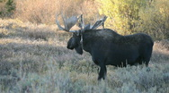 Stock Video Footage of Moose walking bull in wild forest P HD 3328