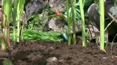 Planting corn/maize Stock Footage