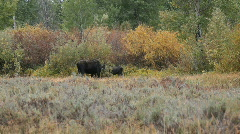 Moose bull and cow in willows P HD 3042 Stock Footage