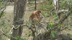 Borneo Proboscis Monkey 07 Stock Footage