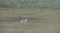 P00663 Coyote Calling Stock Footage